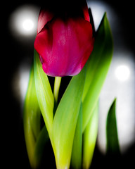 Tulip . (CWhatPhotos) Tags: red light photographs photograph pics pictures pic picture image images foto fotos photography artistic cwhatphotos that have which with contain em5 mk ii omd olympus esystem four thirds digital camera lens olympusem5 43 mft micro macro flowers flower nature color colour colors colours vibrant 30mm mzuiko m zuiko closeup close up macrolens f35 tulipa tulp heads head shadowed shadow shadows lidl lidlflowers tulip