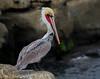 Brown Pelican (Eric Gofreed) Tags: brownpelican california pelican sandiego
