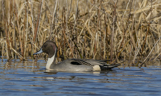NOPI-Northern Pintail (Anas acuta)
