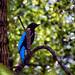 Profile of the Blue Fairy Bird