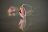 Lost dream (Xtraphoto) Tags: bokeh blossom verblüht reflection spiegelung mirror flower blume anemone
