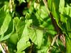 Subtle (Lexie's Mum) Tags: continuing30dayswild walking walks walkingthedog nature wildlife scenery floraandfauna damselfly leaves