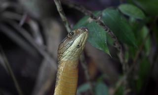 2010_ac_King Cobra