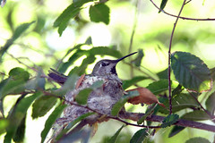 "Hummingbird SBK9U • <a style=""font-size:0.8em;"" href=""http://www.flickr.com/photos/95808399@N03/37924756985/"" target=""_blank"">View on Flickr</a>"
