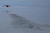 Take Off (Role Bigler) Tags: 14xiii alcidae canoneos5dsr ef4070200isusml fraterculaarctica iceland island meer natur nature papageientaucher puffin sea animal bird birdtakesoff flying nordatlantik northatlantic starting takeoff vogel water waterbird