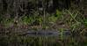 A large Gator (tfhammar) Tags: american alligator gator hillsborough river kayaking tampa florida