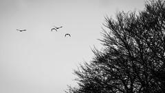 Free. (AloysiaVanTodd) Tags: art natural escape life light landscape france bnw blackandwhite sombre dark wild trees wood forest nature birds fly shadows shades