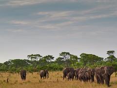 Elephant Caravan (Michael Guthmann) Tags: elephant elephants omd omdolympus omdmark2 omdrevolution em1markii safari zimbabwe caravan elefant elefanten mzuiko microfourthirds 40150mm28 40150mm128 40150mmf28 40150mmpro tc14