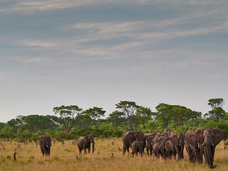 Elephant Caravan