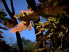 _MG_2723.CR2 (jalexartis) Tags: autumn autumncolor fall oakleafhydrangea oakleaf shrubbery shrub landscaping landscape camranger