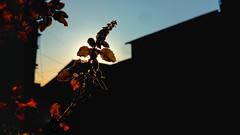 He created it,we captured it (vineevenu) Tags: plant india tulsi sunlight phonephotography shotonsmartphone