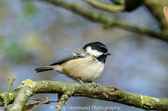 Coal Tit (periparus ater) (search instagram phat5toe) Tags: coaltit periparusater birds feathers avian wildlife nature wigan flashes nikon d7000 tamron150600mm