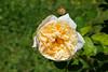 Maig_1502 (Joanbrebo) Tags: barcelona catalunya españa es park parque parc parccervantes garden jardí jardín flors flores flowers fleur fiori blumen blossom rosa rose canoneos70d eosd efs18135mmf3556is autofocus