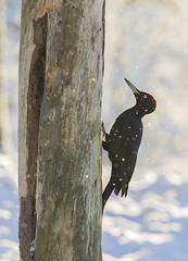 blackwoodpecker_Kuusamo_finland (Kuusamo Nature Photography) Tags: marraskuu2017 palokärki kuusamo finland blackwoodpecker