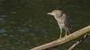 Black-crowned Night-Heron-Juvenile-01313 (Paul McGoveran) Tags: blackcrownednightheron hamilton rbg sony70400ssmii sonya77 bird burlington ontario canada ca