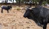Keeping A Safe Distance (Nigel Jones QGPP) Tags: bull cow beast mighty