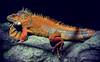 Big Red (307/365) (iratebadger) Tags: nikon nikond7100 d7100 dark lizard reptile scales red orange yellow spines askhambryan wildlifepark yorkshire york iratebadger 35mm project365 smileonsaturday vividorange