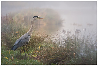 Heron In The Morning Mist