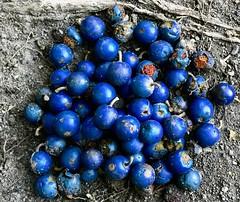 Elaeocarpus grandis - Blue Quandong (Black Diamond Images) Tags: elaeocarpus elaeocarpusgrandis cyrfp qrfp nswrfp tropicalarf arffs bluearffs rnrfgdbarfp rnrfgdb blueseeds appleiphone7plus iphone7plus iphone arfp bluequandong food garden subtropicalarf