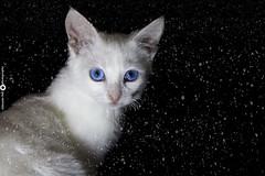 Djani :) (aleksandarpolic1) Tags: cat pussy blue eyes snow canon light night cute sweet winter white 1100d