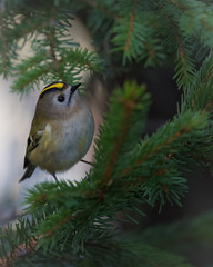 Wintergoldhähnchen-Regulus regulus 17001 (bertheeb) Tags: wintergoldhähnchen singvogel vogel nikon d750 500mmvr ngc