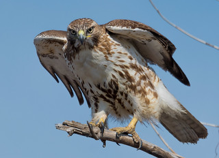 Red Tail Hawk prepares to take flight at Overpeck Park, Leonia, NJ.