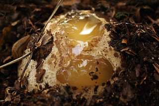 Stinkhorn egg - Stinkzwam-ei
