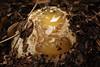 Stinkhorn egg - Stinkzwam-ei (De Rode Olifant) Tags: stinkhorn marjansmeijsters stinkzwam mushroom fungi autumn commonstinkhorn phallusimpudicus egg stinkhornegg ei