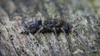 Orchesella cincta (Springschwanz / Springtail) Collembola - male