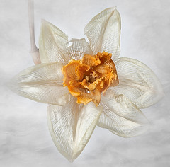 Dried Narcissus (annabelleny Thank you for your many views and comm) Tags: flower floral dried narcissus daffodil garden annjacobsoon