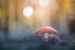 Im Rampenlicht (SonjaS.) Tags: pilze fliegenpilz rot wald forest wood stahlen sonne bokeh canon6d lichtstark explore