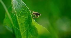 balancing (Simon[L]) Tags: fly green leaf canonltm35mmf18 achromat canon35mmf18ltm