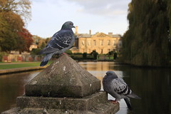 Pigeons at Coombe Abbey (45/52) (Stu.G) Tags: project52 project 52 project522017 522017 9nov17 9thnovember2017 9th november 2017 november2017 9thnovember 91117 9112017 canoneos40d canon eos 40d canonefs1785mmf456isusm efs 1785mm f456 is usm england uk unitedkingdom united kingdom britain greatbritain d europe eosdeurope coombe abbey coombeabbey warwickshire brinklow coventry rugby coombeabbeyhotel coombeabbeycountrypark pigeon pigeons bird birds water autumn sunshine colours autumnsunshine autumncolours
