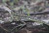 Basilisco (Explore Dic-12-2017) (José M. Arboleda) Tags: animal lagarto basiliscus galeritus reptil pacífico isla gorgona guapi colombia canon eos 5d markiv ef70200mmf4lisusm jose arboleda josémarboleda