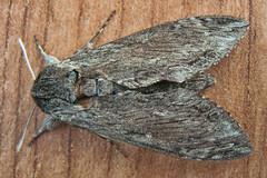 1972-P1120403 Convolvulus Hawk-moth (Agrius convolvuli) (ajmatthehiddenhouse) Tags: stmargaretsatcliffe kent uk 2016 garden moth sphingidae agrius convolvuli agriusconvolvuli convolvulushawkmoth