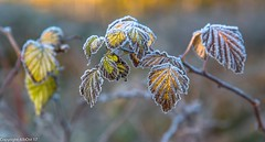 A touch of frost. (AlbOst) Tags: frost frosty nov2017 frozen winter brambles brambleleaves morninglight morningsun winterbeauty