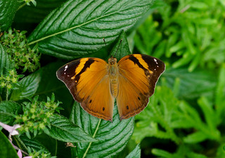 Autumn Leaf Butterfly----- Doleschallia bisaltide
