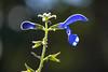 Backlit (Infomastern) Tags: botan botaniskaträdgården canonef100mmf28lisusmmacro lund backlit blomma blue blå flower macro makro exif:model=canoneos760d geocountry camera:make=canon exif:isospeed=100 camera:model=canoneos760d exif:lens=ef100mmf28lmacroisusm geostate exif:focallength=100mm geocity geolocation exif:aperture=ƒ28 exif:make=canon