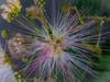 Albizia julibrissin - Acacia di Costantinopoli (frillicca) Tags: 2017 acaciadicostantinopoli agosto albiziajulibrissin august fabaceae fiore fiori flower gaggìaarborea macro macrofotografia mimosa panasoniclumixlx100 persiansilktree piante roma rome pinksilktree