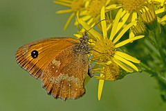 Pyronia tithonus - the Gatekeeper (male) (BugsAlive) Tags: butterfly butterflies mariposa papillon farfalla schmetterling бабочка animal outdoor insects insect lepidoptera macro nature nymphalidae pyroniatithonus thegatekeeper satyrinae wildlife wiltshire coatewater liveinsects uk