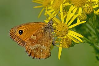 Pyronia tithonus - the Gatekeeper (male)
