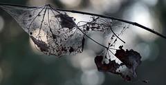 Web Design (Kat~Morgan) Tags: web leaves silhouett bokeh nature