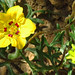 Monjita (Scyphanthus elegans) / Chile
