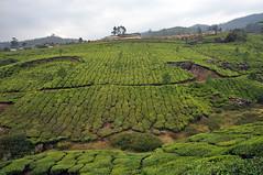 India - Kerala - Munnar - Tea Plantagen - 243 (asienman) Tags: india kerala munnar teaplantagen asienmanphotography