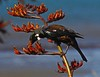 Tui feeding on flax nectar - Petone waterfront - Wellington NZ (Maureen Pierre) Tags: tui newzealand native bird wellington petone foreshore flower parson feeding flax pollen nectar