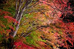 colors of maple (peaceful-jp-scenery (busy)) Tags: mtfuji lakekawaguchi autumn leaves leaf maple festival lighting momijikairo fuji5lakes kawaguchiko 紅葉 もみじ回廊・紅葉まつり モミジ カエデ 赤 河口湖 山梨 日本 fujifilm xt20 xf1855mmf284rlmois