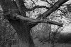 Tree (Hyons Wood) (Jonathan Carr) Tags: trees tree ancient woodland abstract abstraction rural northeast black white bw monochrome 6x9 tpyo45a