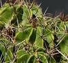 Ferocactus robustus (ecos de pedra) Tags: ferocactus ferocactusrobustus