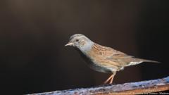 Accenteur mouchet (gilbert.calatayud) Tags: accenteurmouchet dunnock passériformes prunellamodularis prunellidés bird oiseau laddo mazères ariège