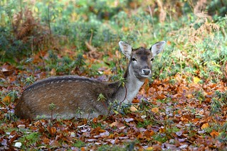 Fallow Deer rests in the Autumn leaves -  at Knole Park, Sevenoaks.